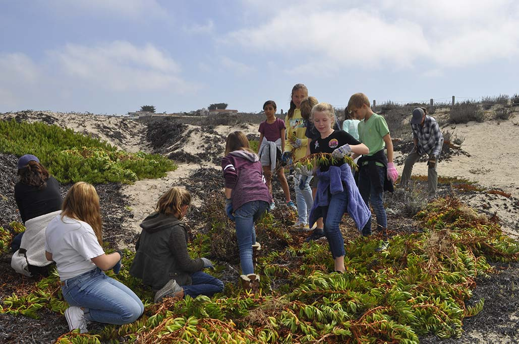 6th graders pull iceplant from dunes